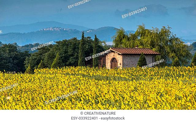 Field of Sunflowers in Tuscany Landscape, Italy