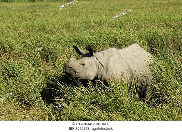 Indian Rhinoceros or Great One-horned Rhinoceros (Rhinoceros unicornis), endangered, Kaziranga National Park, Assam, India