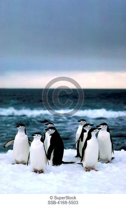 ANTARCTICA, NELSON ISLAND, CHINSTRAP PENGUINS RESTING ON SNOW, AFTER RETURNING FROM SEA