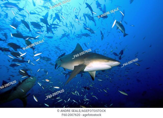 Bull sharks, Carcharhinus leucas, and schools of fishes, Beqa lagoon, Viti Levu, Fiji, South Pacific