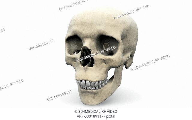 Animation depicting a full rotation of the human skull