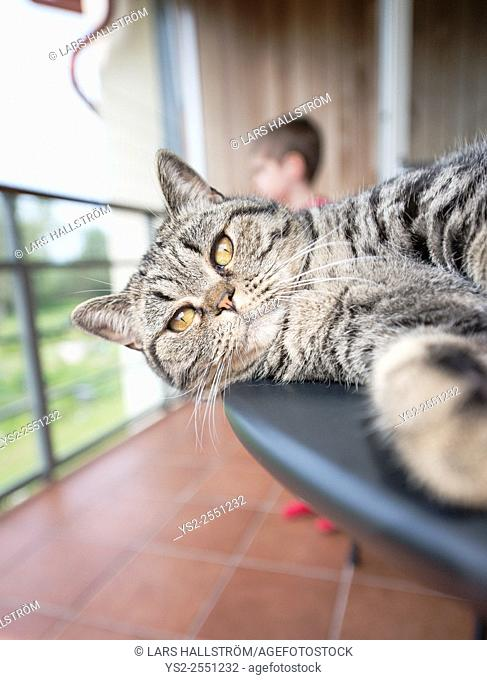 Cat on table with child in background. British shorthair cat lying on balcony table