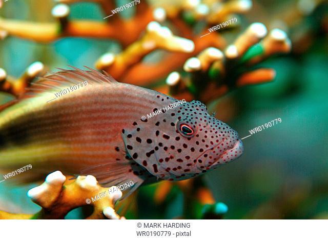 ForsterÃs Hawkfish Paracirrhites forsteri Red Sea