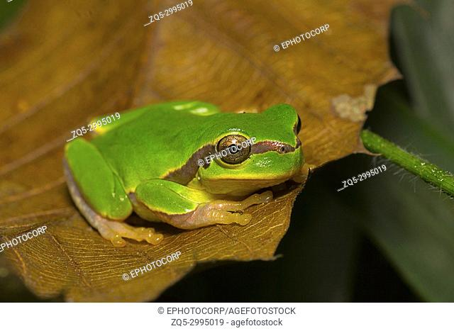 Jerdon's tree frog, Hyla annectans, Kivikhu, Nagaland, India