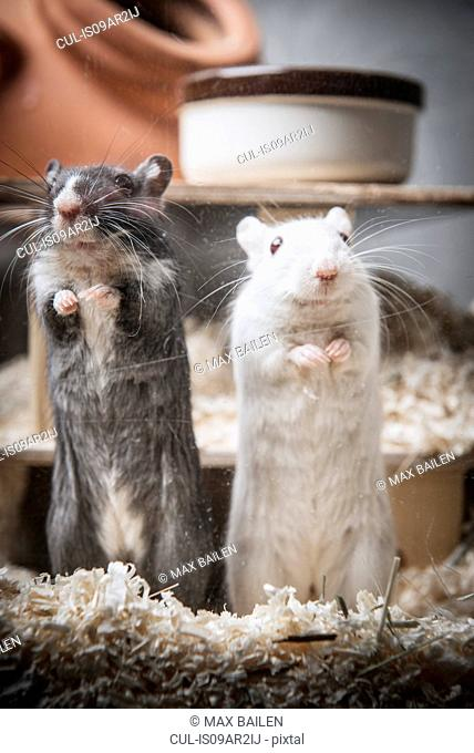Portrait of two gerbils standing on back legs
