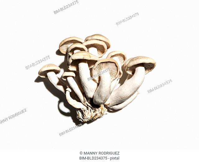 Clamshell mushrooms