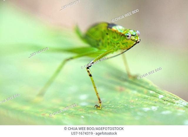 A green katydid