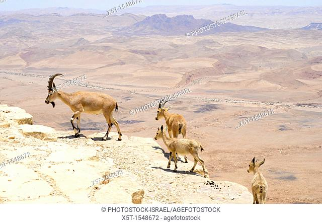 Ramon Crater, the world's largest karst erosion cirque, at the peak of Mount Negev in Israel a herd of Nubian Ibex Capra ibex nubiana
