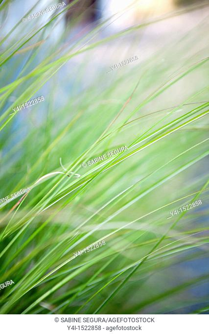 Close-up of grass. Le Teich. Gironde. Aquitaine. France