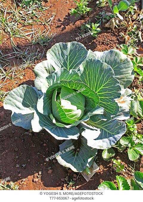 Field of Cabbage, Brassica oleracea var  capitata