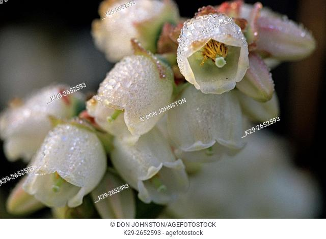 Blueberry (Vaccinium angustifolium) dew-covered flowers, Lively, Ontario, Canada