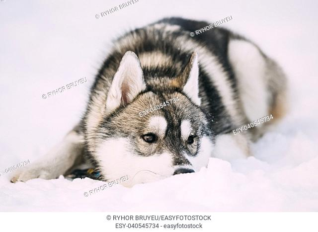 Funny Young Husky Puppy Dog Sit In Snow. Winter Season