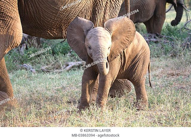 Steppe, African elephants, Loxodonta africana, young, series, Africa, Kenya, wildlife, wilderness, Wildlife, animals, mammals, game-animals, proboscideans