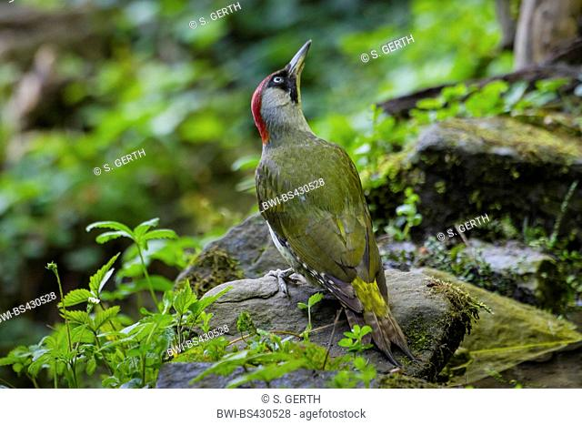 green woodpecker (Picus viridis), searching food on a stone, rear view, Switzerland, Sankt Gallen