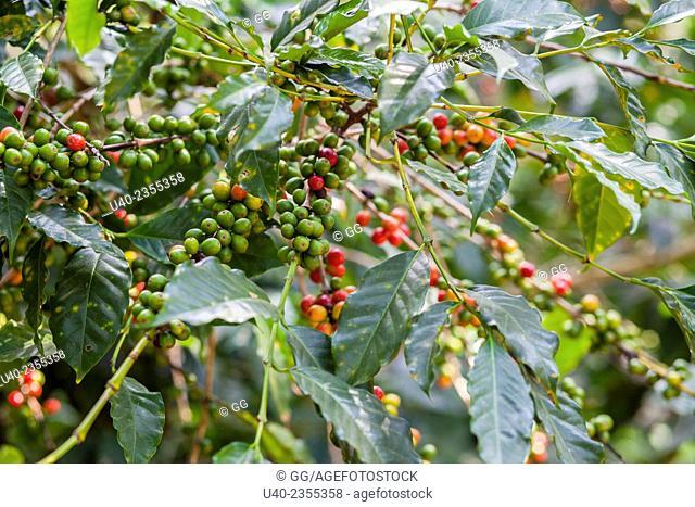 Guatemala, Antigua, coffee plant
