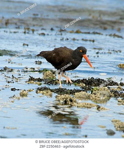 Oystercatchers forage the beach in Gulf Islands National Park, British Columbia, Canada