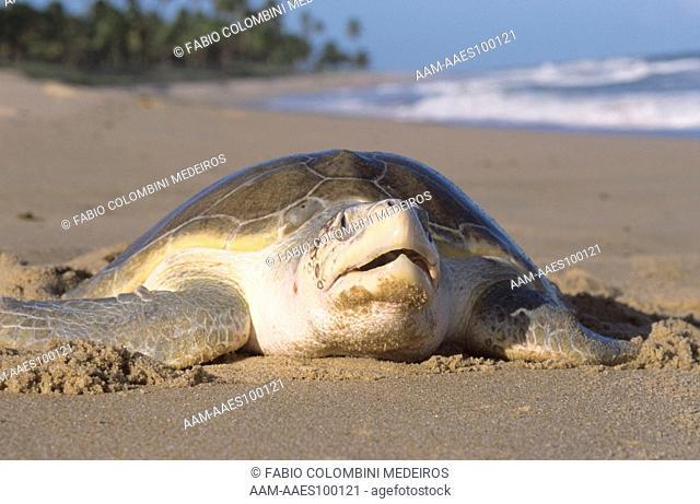 Olive Ridley Sea Turtle (Lepidochelys olivacea), Praia do Forte, Brazil