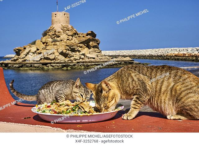 Sultanat of Oman, Gulf of Oman, Mascat, Quriyat District, Quriyat, a fishing village, beach and watchtower, street cat
