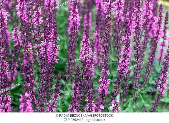 "Salvia nemorosa """"Pink Field"""", woodland sage, Balkan clary"