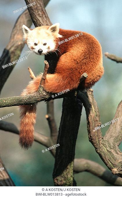 lesser panda, red panda Ailurus fulgens, sitting on a branch