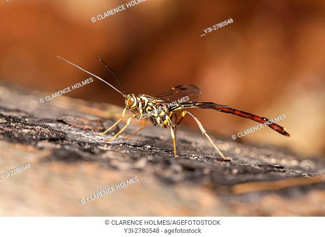 A male Giant Ichneumon Wasp (Megarhyssa macrurus) searches for females developing inside a log on the larvae of Pigeon Horntail (Tremex columba)
