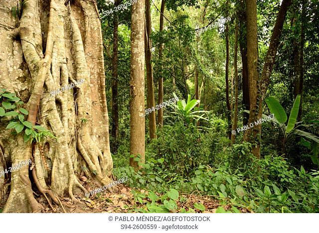 Doi Suthep Dipterocarp wood near Chiang Mai, Thailand