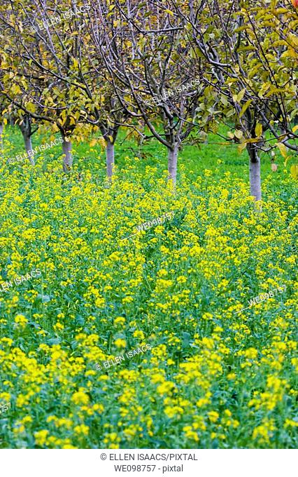Apple orchard in autumn with yellow leaves falling off the trees and wild mustard growing in the field