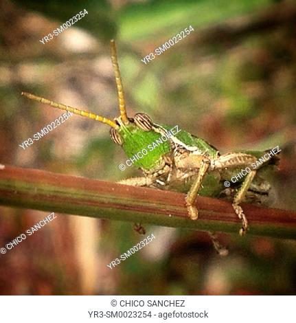 A grasshopper perches on a plant in Peña de Bernal, Queretaro, Mexico