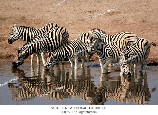 Zebras at waterhole, Etosha National Park. Namibia
