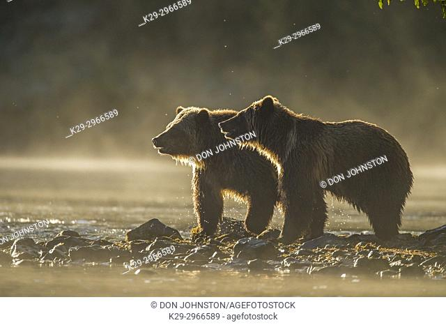 Grizzly bear (Ursus arctos)- Yearling cubs on shore of the Chilko River. Chilcotin Wilderness, British Columbia BC