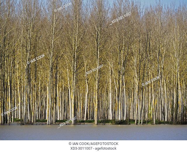poplar grove, Salicaceae spp. and flooded field near the Canal de Garonne near Marmande, Lot-et-Garonne Department, Aquitaine, France