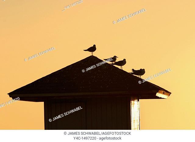 Gulls on roof of lifeguard tower at sunset on Lido Beach, Sarasota, Florida