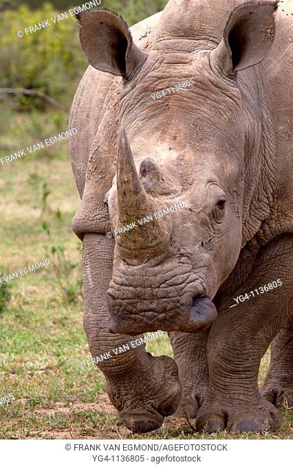 White Rhinoceros  Ceratotherium Simum  May, Winter 2009  Ndumo Game Reserve, Kwazulu-Natal, South Africa