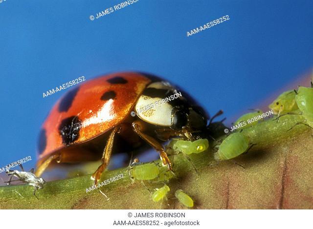 Asian Ladybug eating Aphids (Harmonia axyridis)