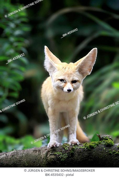 Fennec, fennec fox (Vulpes zerda), adult, watchful, captive, Occurrence North Africa