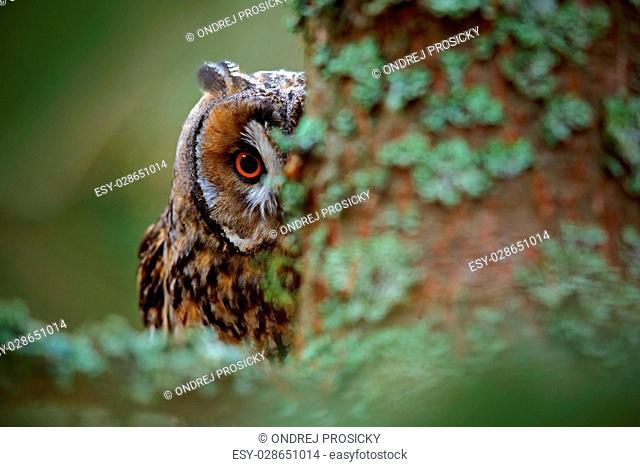 Hidden portrait Long-eared Owl