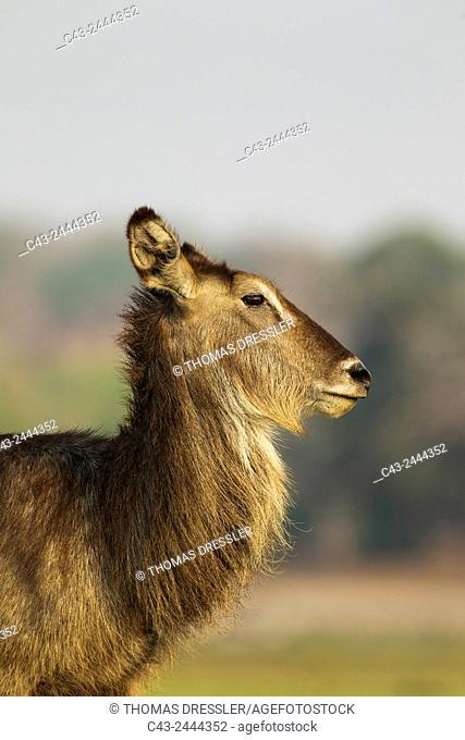 Common Waterbuck (Kobus ellipsiprymnus) - Cow. Chobe National Park, Botswana