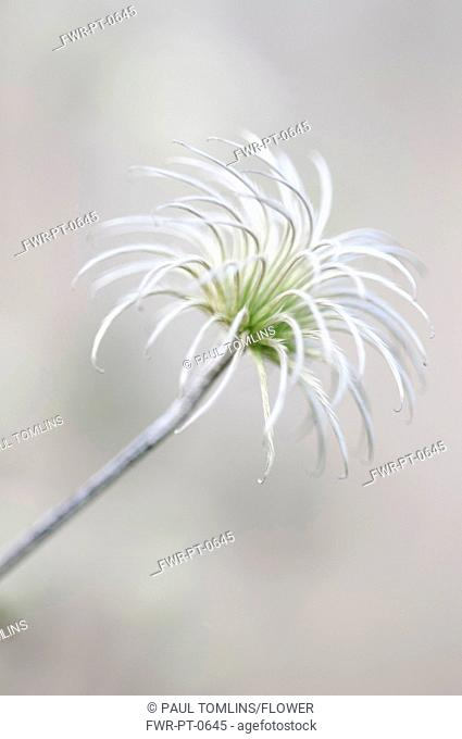 Seeds of clematis sp Stock Photos and Images | age fotostock