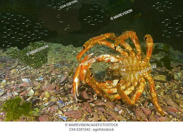 Defense behavior. Great spider crab (Maja squinado). Eastern Atlantic. Galicia. Spain. Europe