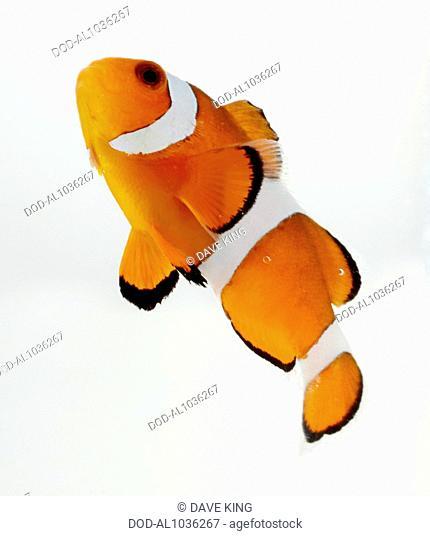 Ocellaris Clownfish, Common Clownfish (Amphiprion ocellaris), clown fish