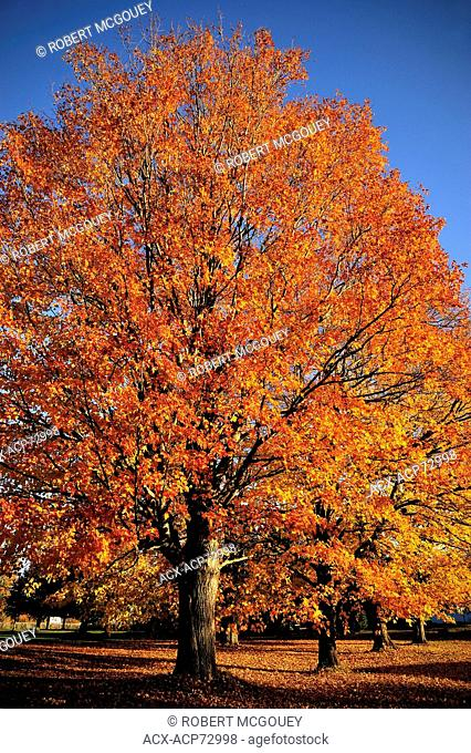 A line of mature maple trees with thier leaves turning the vibrant oranges of autumn near Sussex New Brunswick Canada