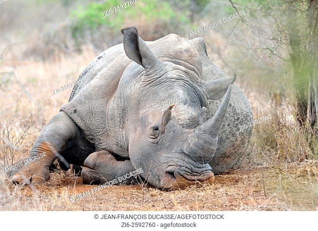 White rhinoceros (Ceratotherium simum), lying down, covered with flies, with a Red-billed Oxpecker (Buphagus erythrorhynchus) on its face, Kruger National Park