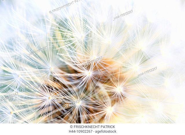 Flower, detail, flora, reproduction, ease, dandelion, dandelion, macro, pattern, sample, close-up, plant, puff, blowball, blowing, seed, Switzerland