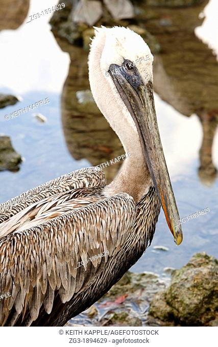 A portrait of a Brown pelican, Pelecanus occidentalis, Key Largo, Florida, USA