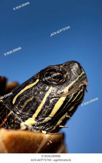 Close-up head shot of a Midland Painted Turtle (Chrysemys picta marginata), Municipality of Gordon/Barrie Island on Manitoulin Island, Ontario, Canada