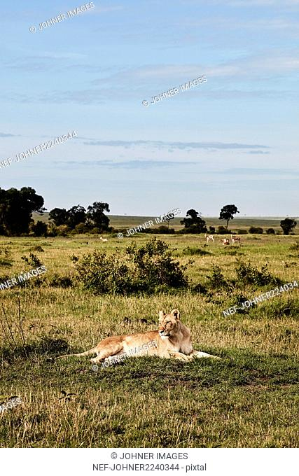 Lioness relaxing