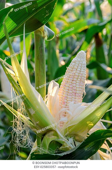 Multi-colored sweet corn on stalk is ready to harvest
