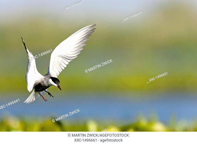 Whiskered Tern or Marsh Tern chlidonias hybridus overing above nest in colony in the Danube Delta Europe, Eastern Europe, Romania, Danube Delta