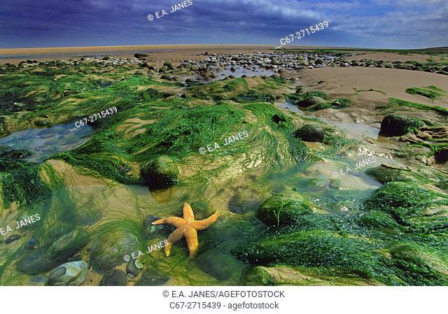 Starfish Asterias rubens on the Tideline Holkham Beach Norfolk UK