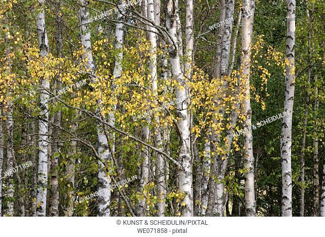 Birches turning to autumn coulours, Noraström, Västernorrlands län, Sweden, Scandinavia, Europe